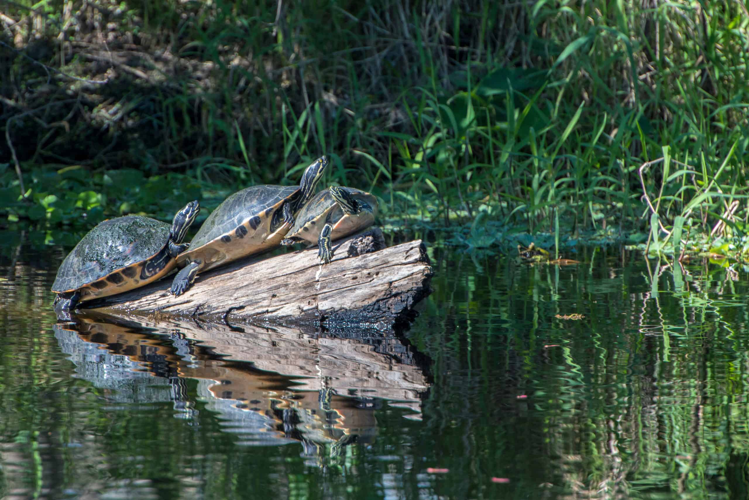 turtles balancing on log in spring