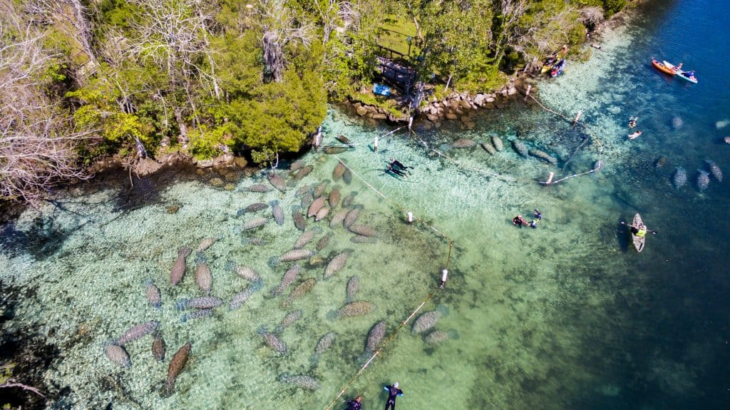 aerial view of manatees and kayakers in Crystal River