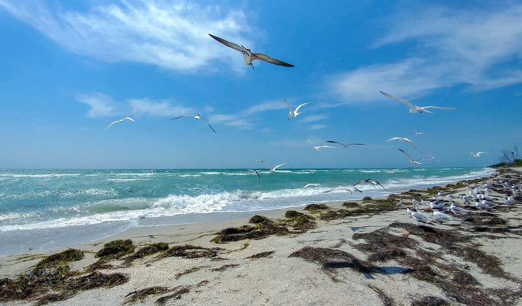 Seagulls flying over the turquoise water at Fort De Soto Beach near Tampa Florida
