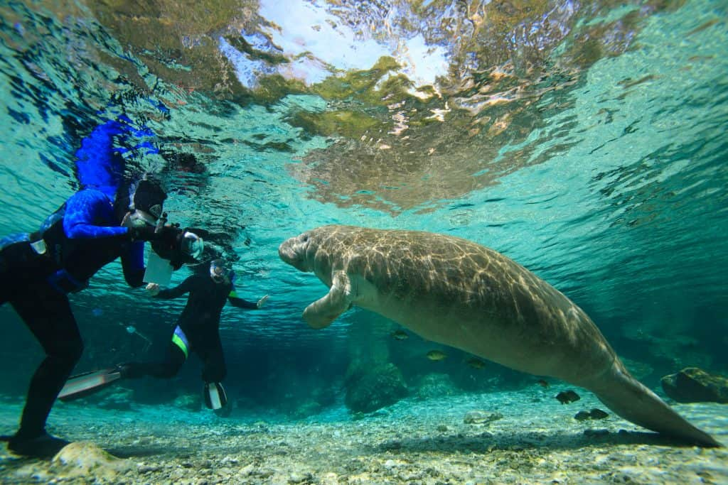 Divers swim with a manatee in Crystal River, a collection of Florida natural springs.