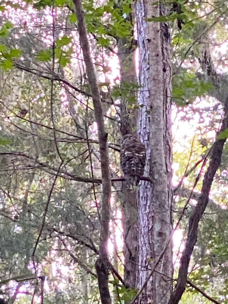 owl in trees at kelly park florida