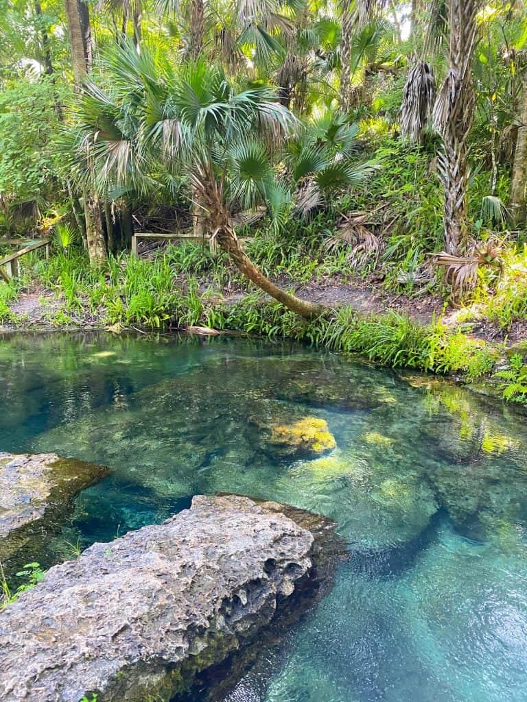 palm tree at rock springs florida