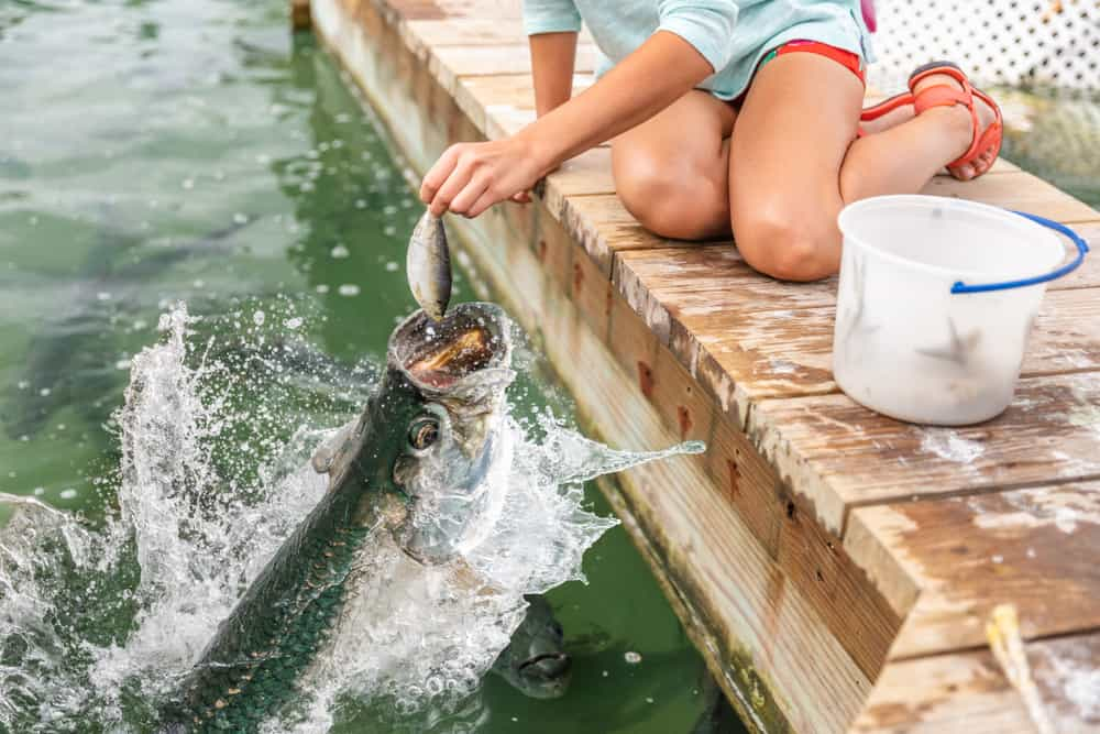 woman feeding tarpon fish jumping out of the water