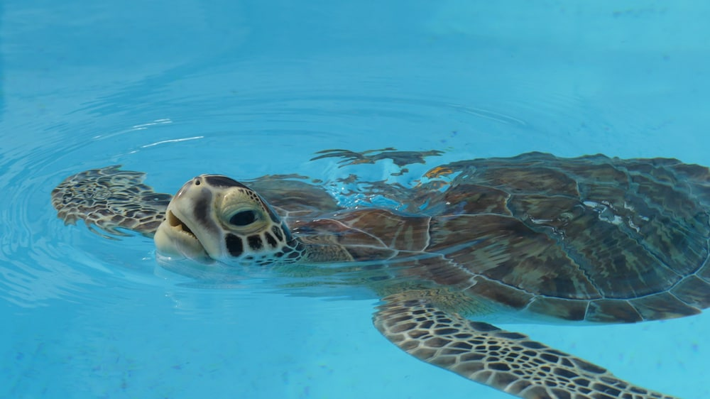 turtle in light blue water at Turtle Hospital Miami to Key West drive
