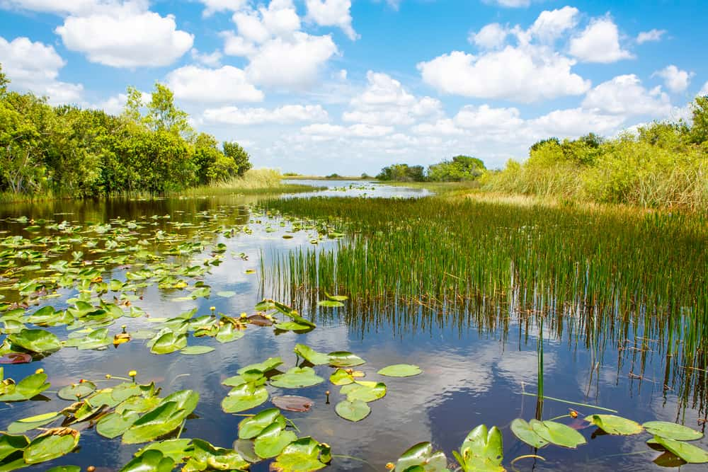water of the Florida Everglades dotted with grasses and lily pads