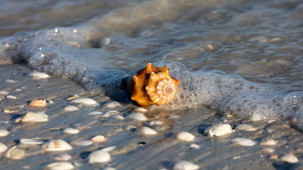 brown conch shell surrounded by gray sand on edge of waterline