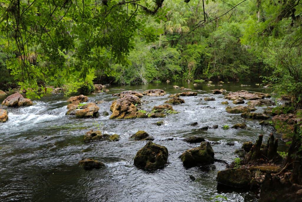 The river rapids are a perfect home for alligators at the HIllsborough River State Park.