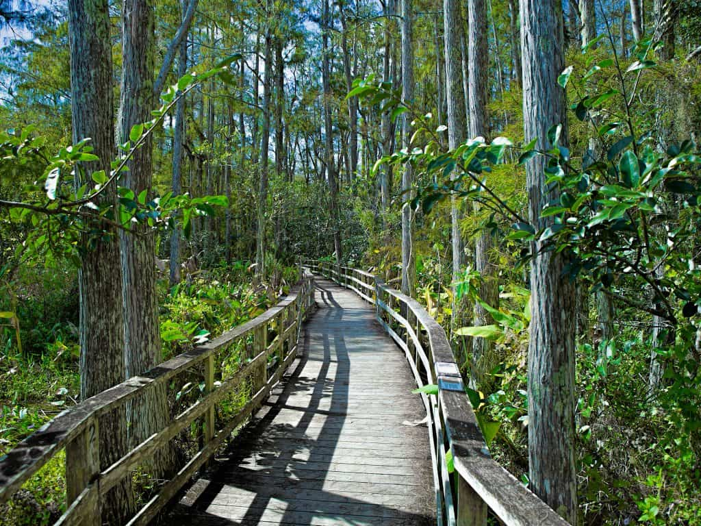 A boardwalk trail winds through the forests of the Audubon Corkscrew Sanctuary.