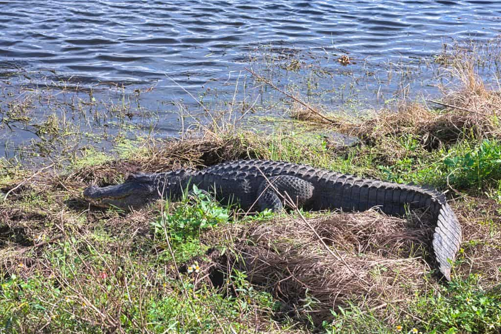 An alligator lounges on the shores at the Circle B Bar reserve.