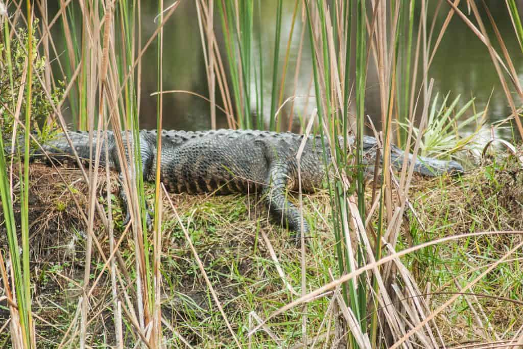 An alligator basks on the shores at the Merritt Island National Wildlife Refuge.