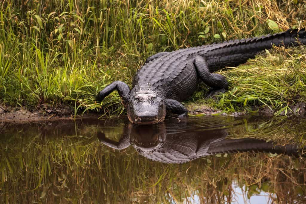 An alligator enters the waters of Myakka River State Park.