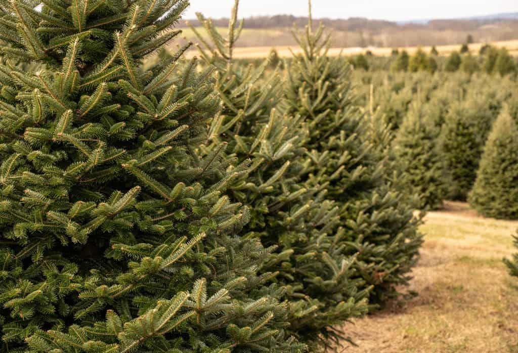 Rows of evergreens line the paths at one of the many Christmas tree farms in Florida.