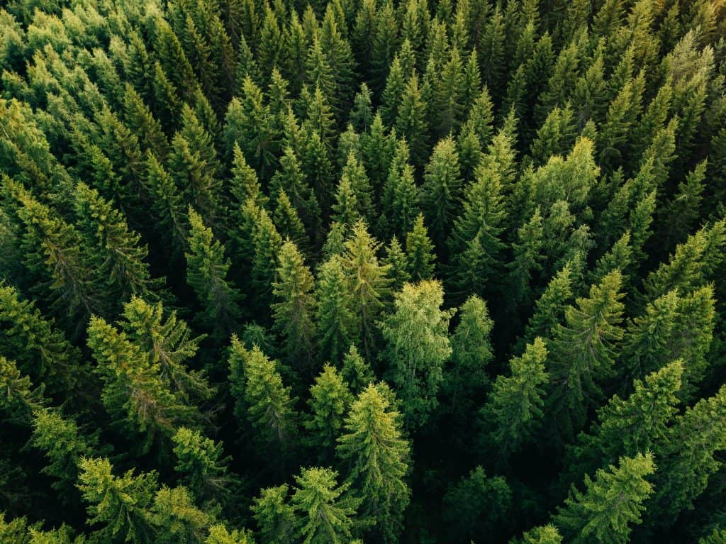 An aerial shot of an evergreen forest, filled with potential Christmas trees.