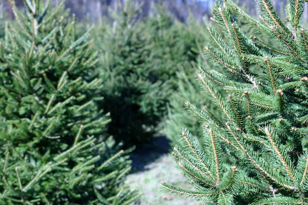 Rows of evergreens at the best Christmas Tree farms in Florida.