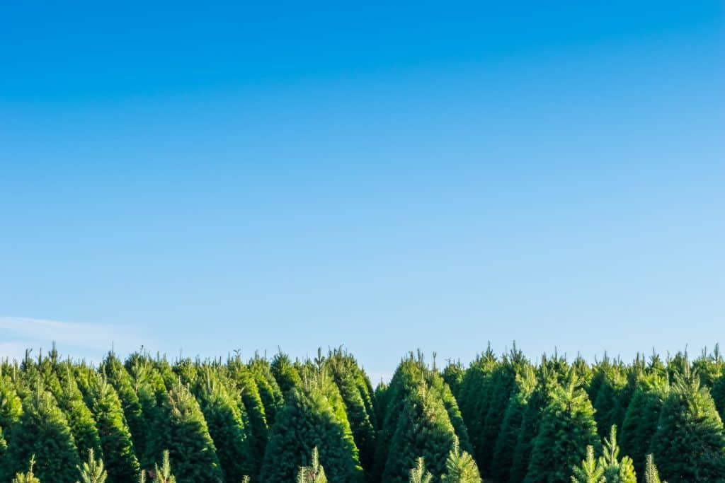 The tops of evergreen trees among a blue sky on a Christmas tree farm in Florida.