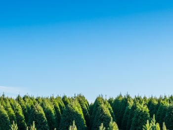 christmas trees in florida on a blue sky