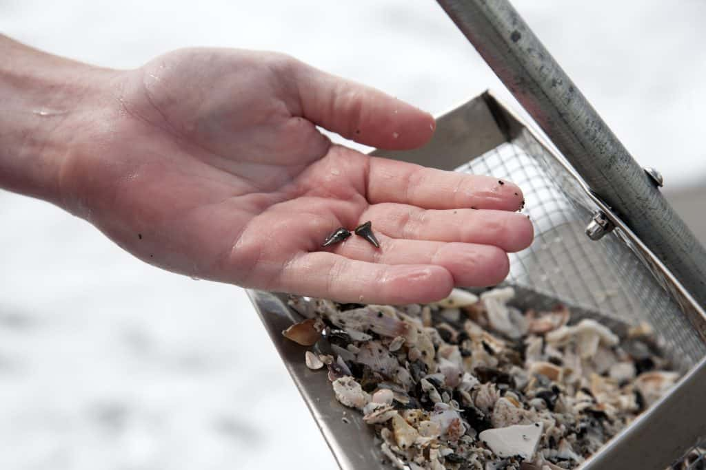 A collector holds up two teeth at the Venice Shark Tooth Festival, one of the best festivals in Florida.