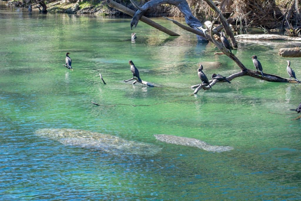The clear waters of Blue Springs State Park allow for perfect manatee viewing in Florida!