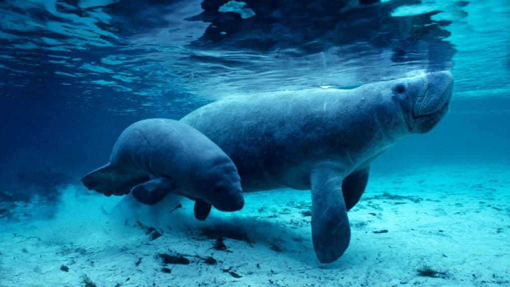 Crystal River manatees, a mother and her calf, swim in the waters of Three Sisters Spring.