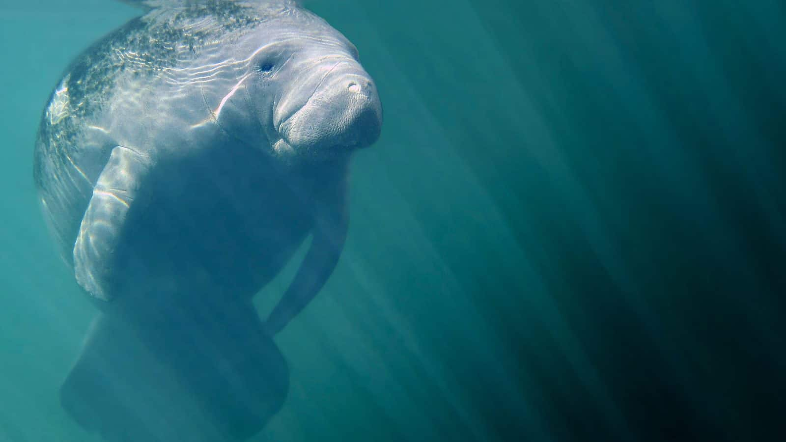 A manatee bathes in the sunlight glittering down from the water's surface.