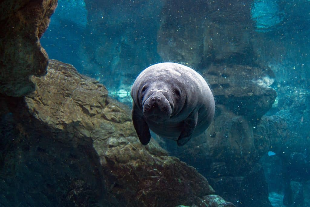 While manatee viewing in Florida, a young calf is seen swimming through a cave system.
