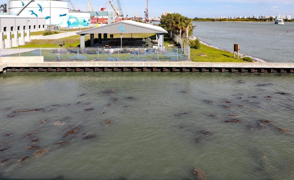 Hundreds of wild manatees in Florida congregate at the Manatee Viewing Center in Apollo Beach.