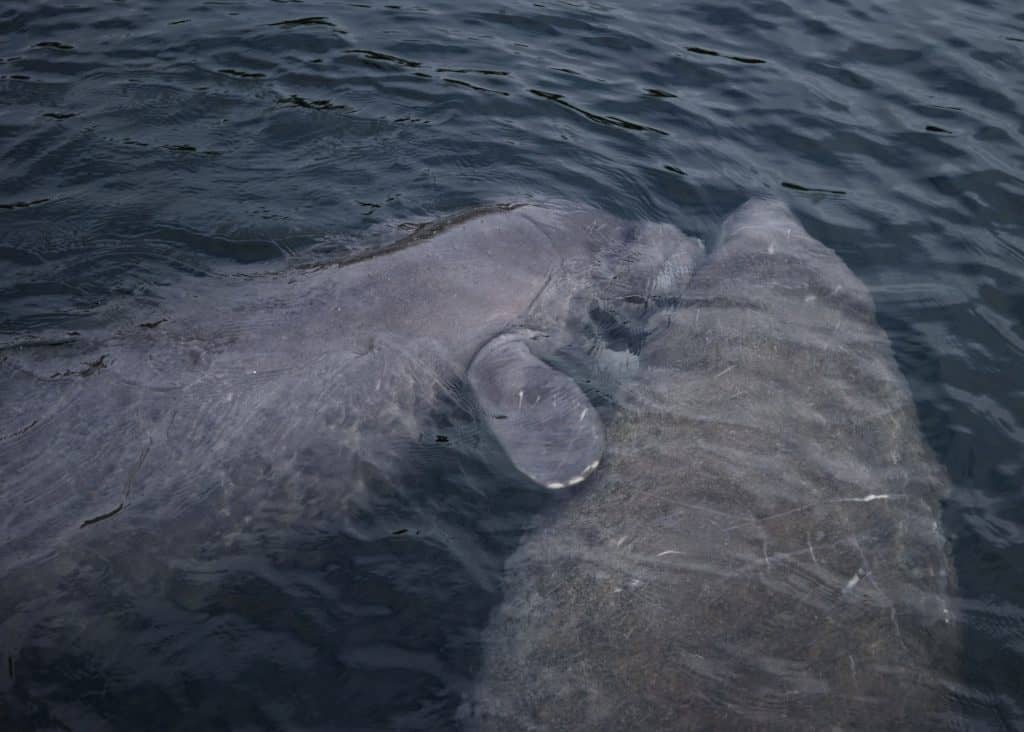 Two wild manatees play just beneath the surface at Wakulla Springs, Florida.