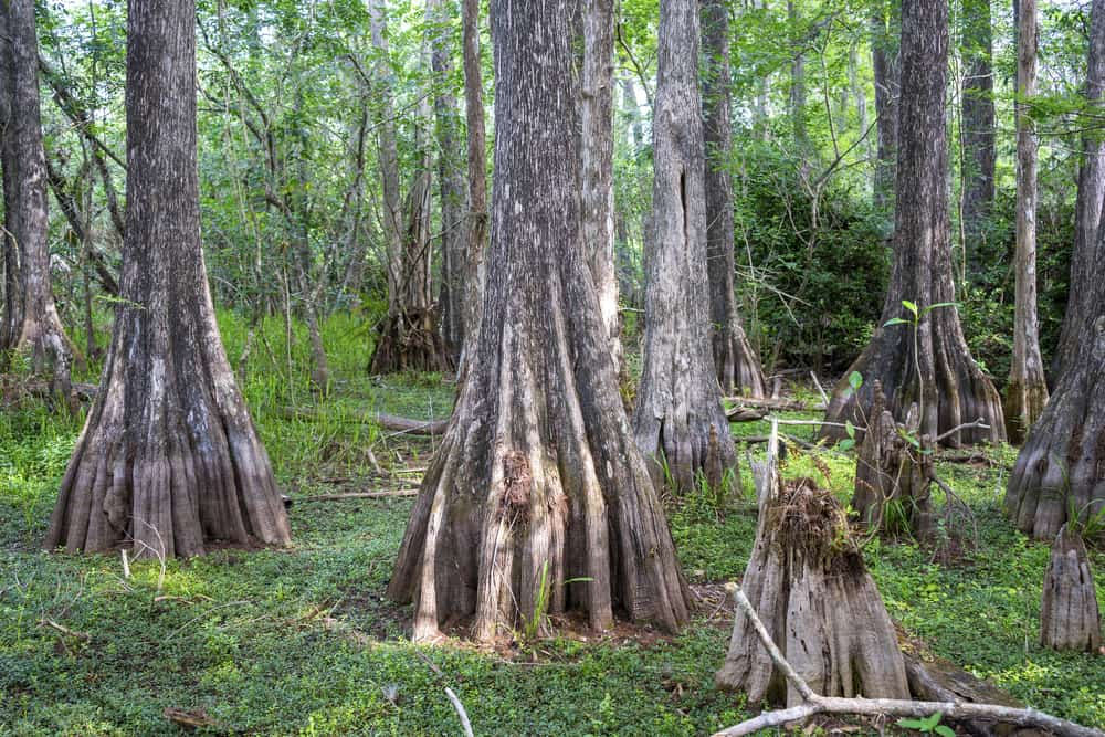 Photo of tree trucks surrounded by the rich greenery of Big Cypress National Preserve.