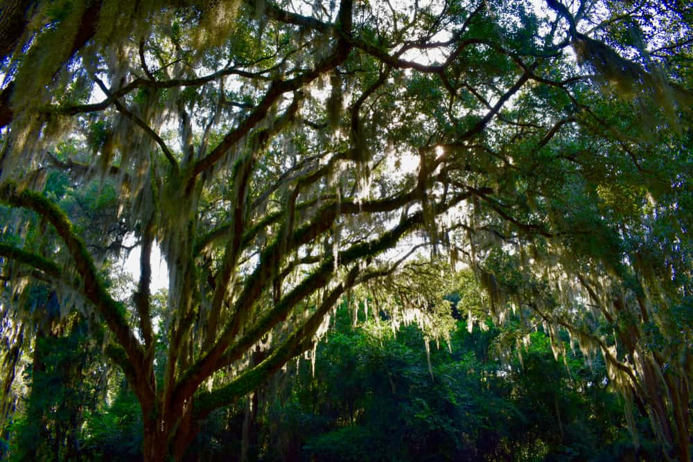 Photo of the lush spanish moss at Timucuan Ecological & Historic Preserve, one of the National Parks in Florida.