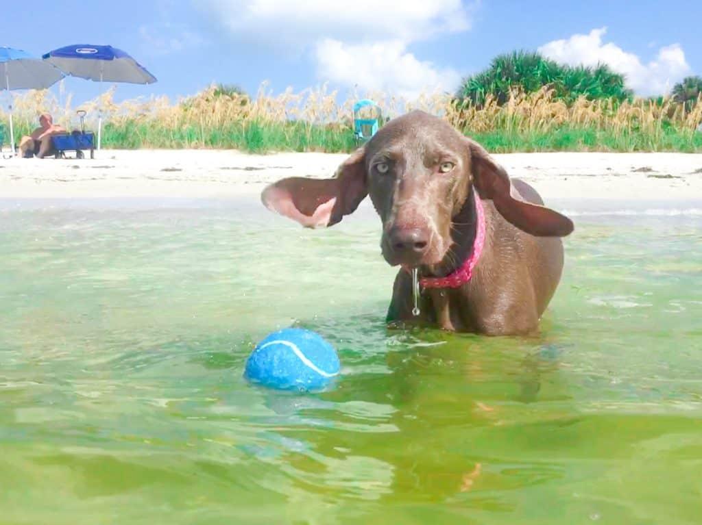 A weimeraner puppy's ears flop in excitement at Fort De Soto Dog Beach!