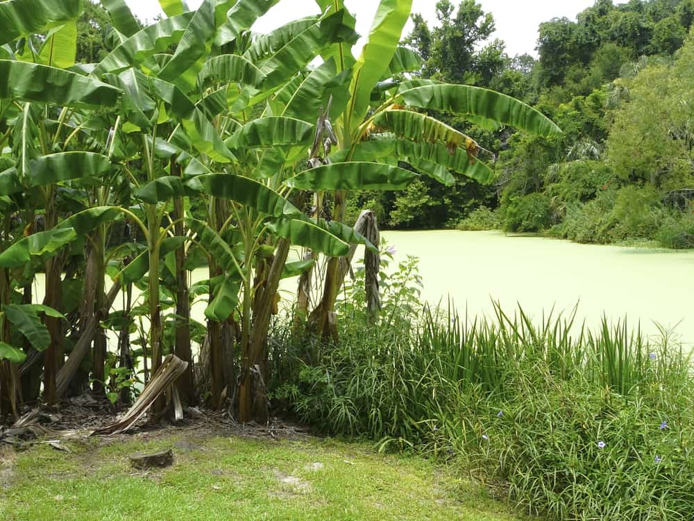 Kanapaha botanical Gardens should be on your list of things to do in Gainesville. Beautiful lush vegetation and ponds.