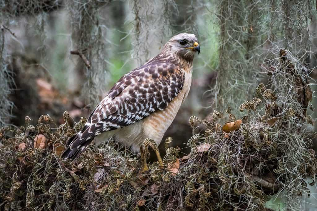 A red-shouldered Hawk rests in the Circle B Bar Reserve, one of many things to do in Lakeland.