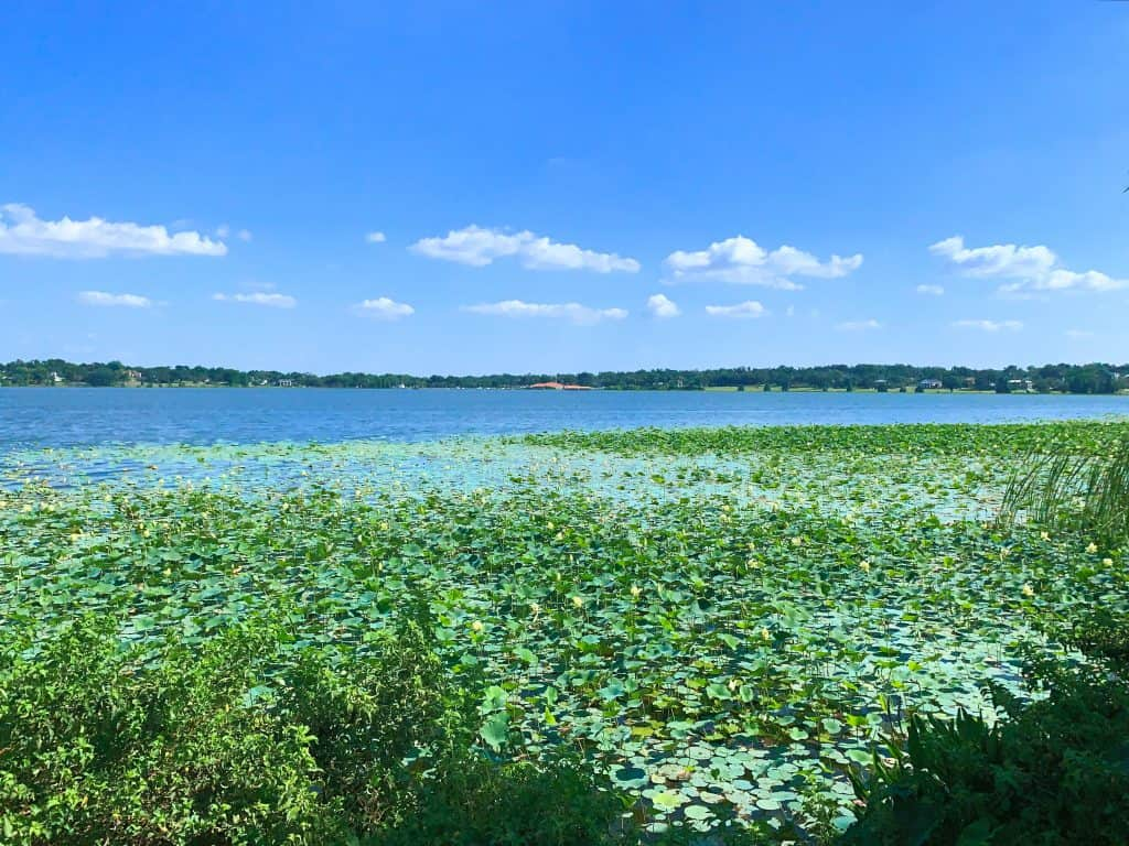 Water lilies pool on the surface of Lake Hollingsworth, one of the best places to go in Lakeland.