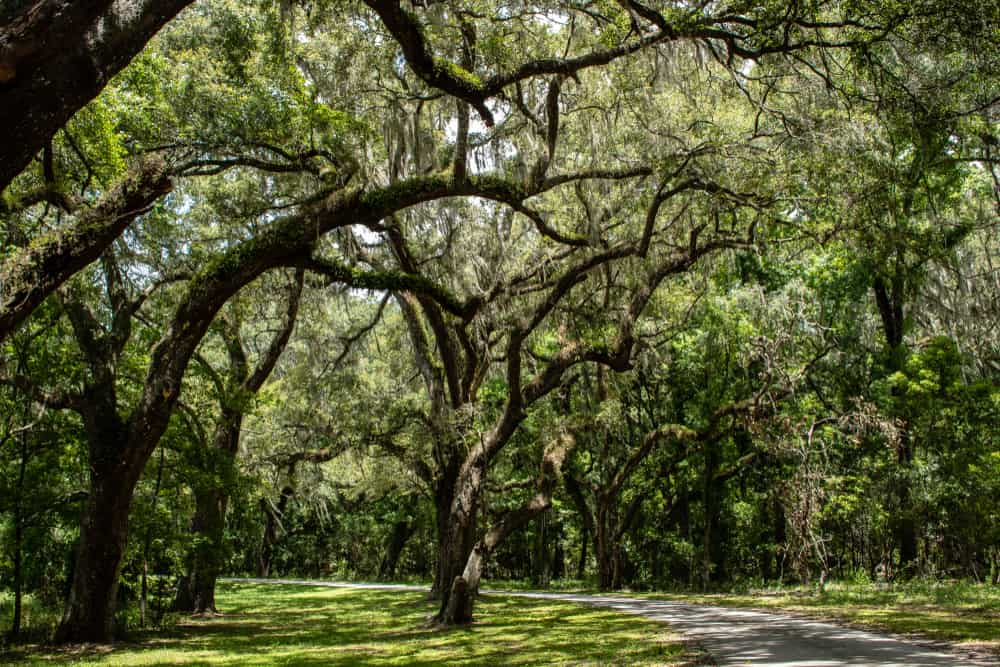 Withlacoochee State Forest in Ocala is a must-visit for any nature lover looking for things to do in Ocala the beautiful trees and hiking trails.
