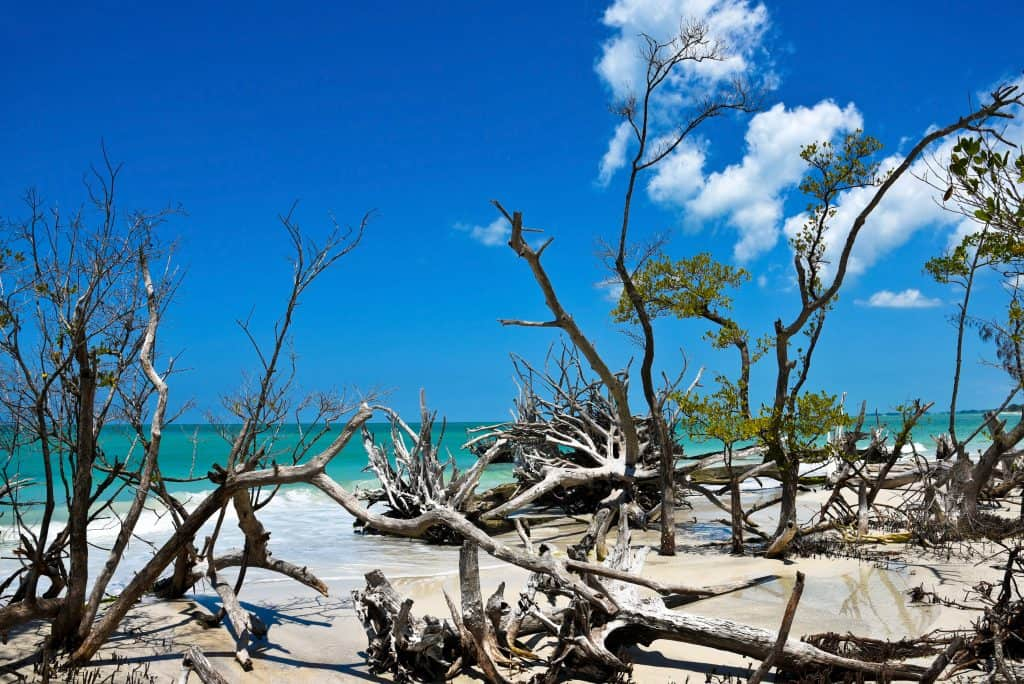The downed trees and driftwood littering the shores of secluded Beer Can Island, one of the best things to do in Sarasota.