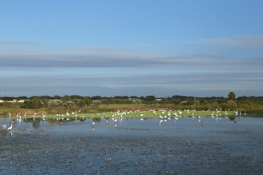 An ocean of birds litter the marshes of Celery Park, one of the most fun things to do in Sarasota.