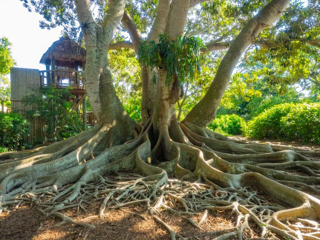 A banyan tree rests in dappled shade along the path of Marie Selby Botanical Gardens, one of many can't-miss Sarasota attractions.