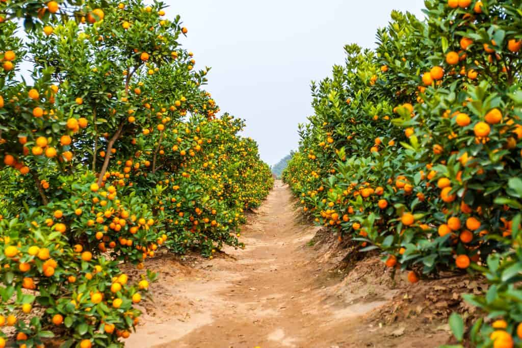 Groves in winter hold many sweet and juicy oranges, ripening during winter in Florida.