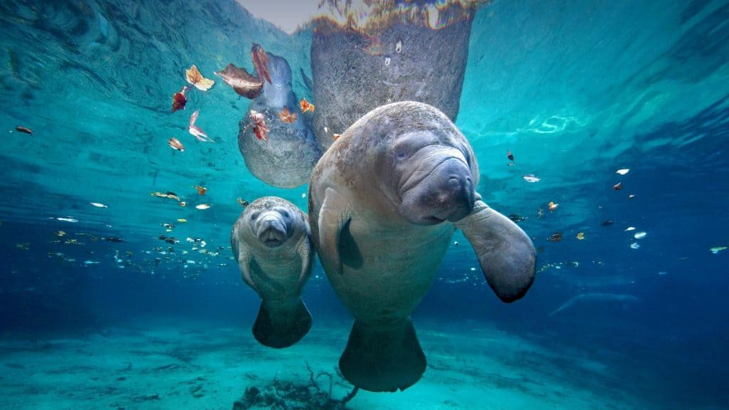A manatee mother swims with her calf at Three Sister Springs in Crystal River, Florida.