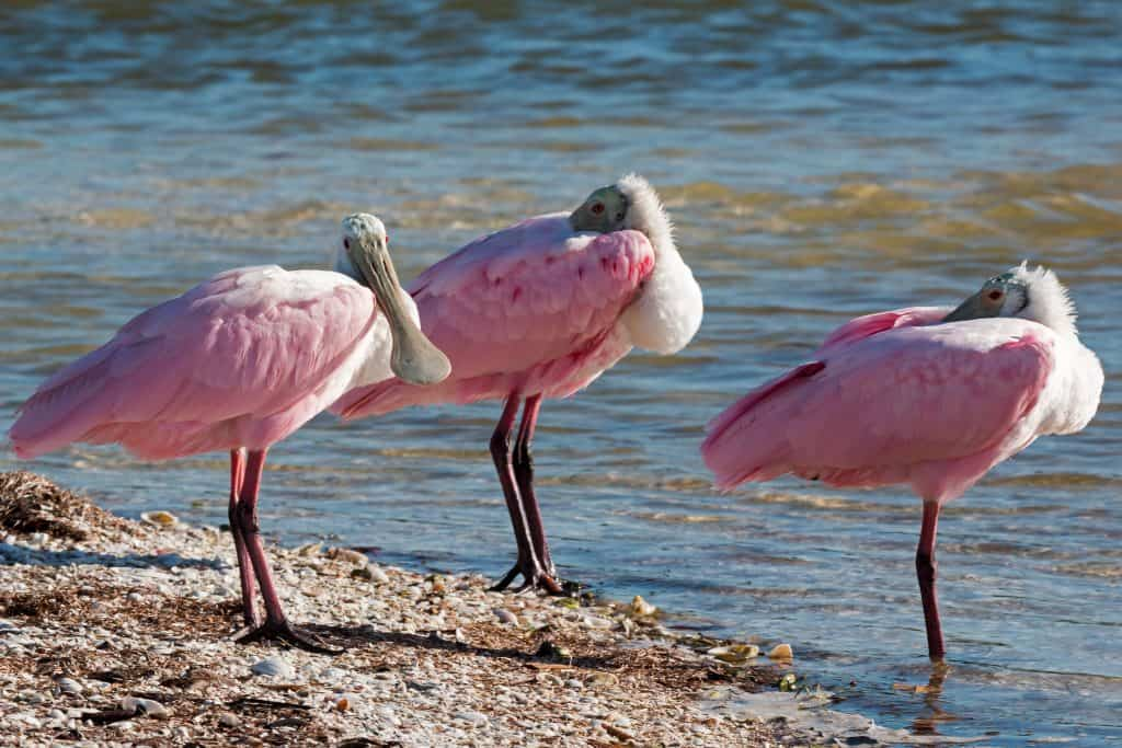 Three Roseate Spoonbills gather on the shores of Sand Dollar Island, as seen from Tigertail Beach in Marco Island, one of the best beaches in Florida.