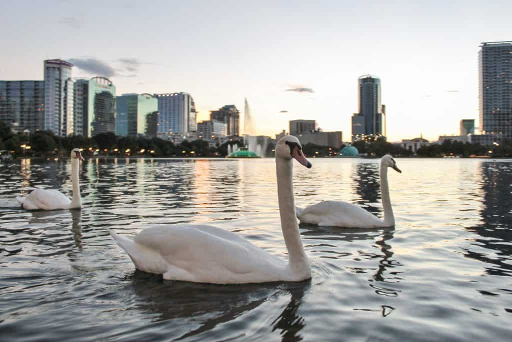 Swans in Lake Eola at sunset with the Orlando skyline in the background.