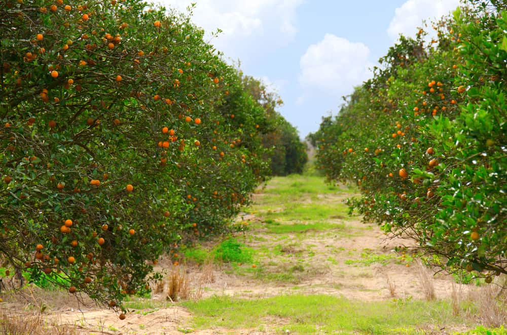 Orange trees in a Floridian orange grove
