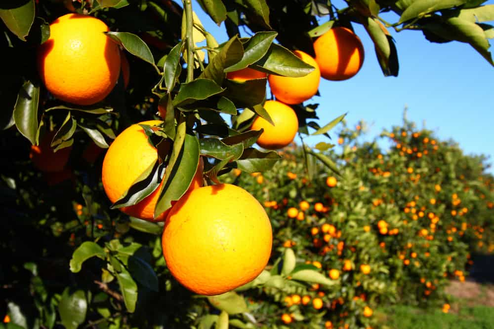 A Floridian Orange Grove on an article about Orange Picking in Florida.