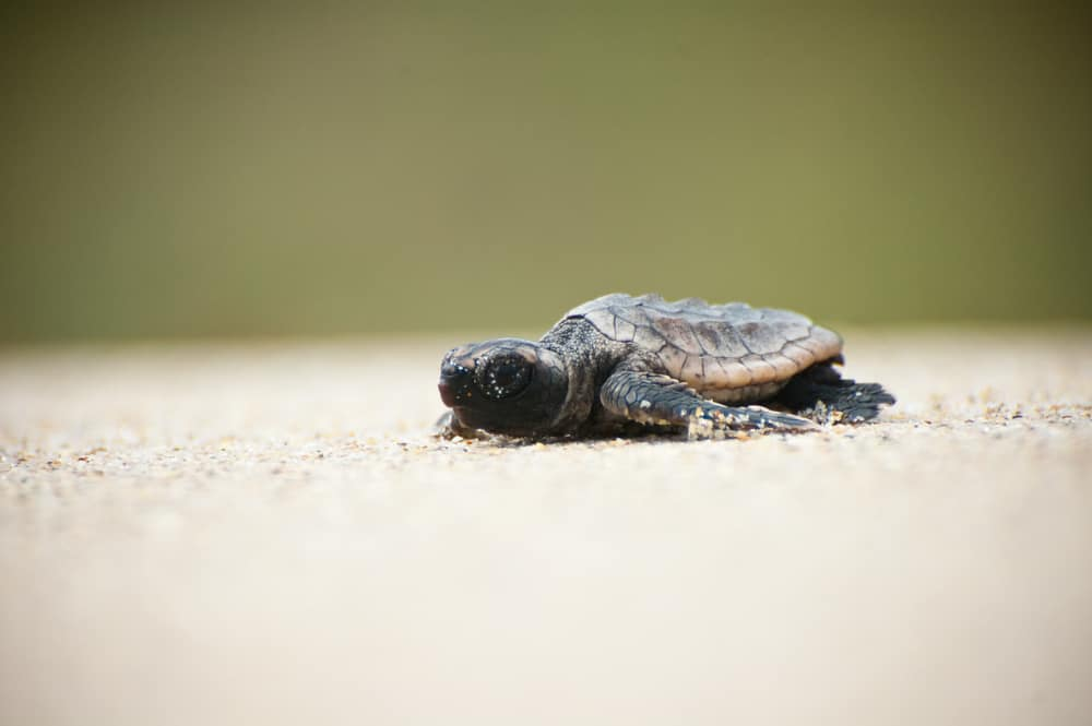 Photo of a tiny hatchling sea turtle, the cutest of all sea turtles in Florida.