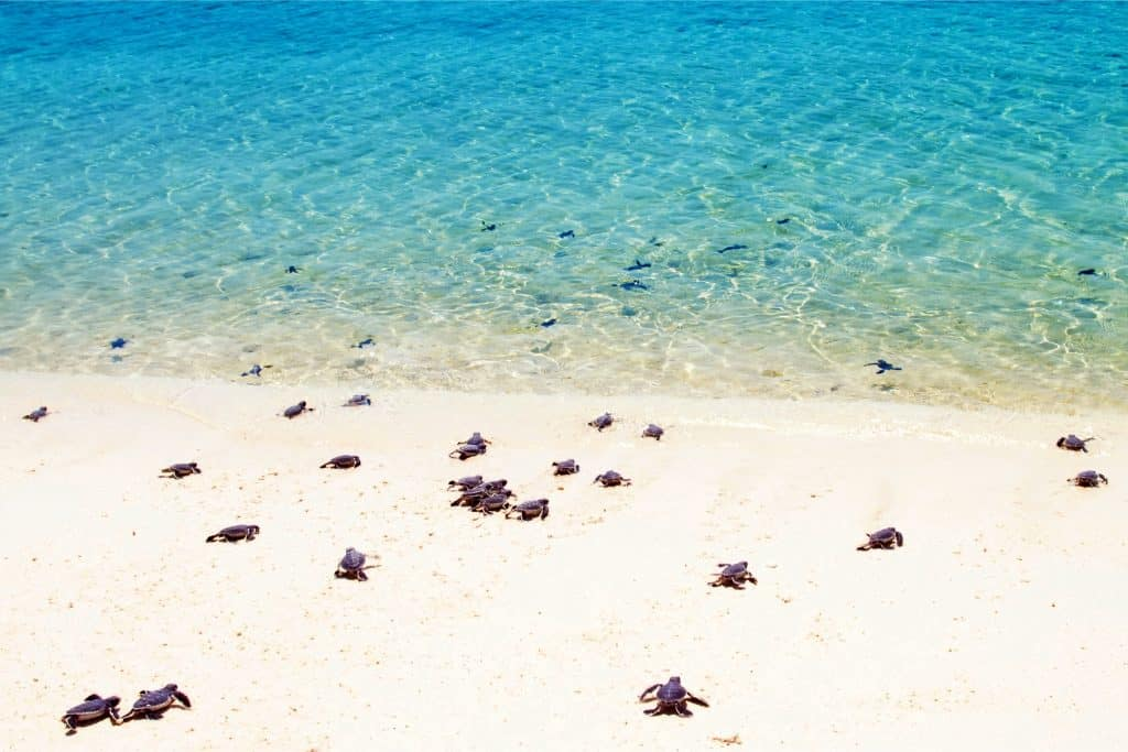 Baby sea turtles making their way to bright blue water.