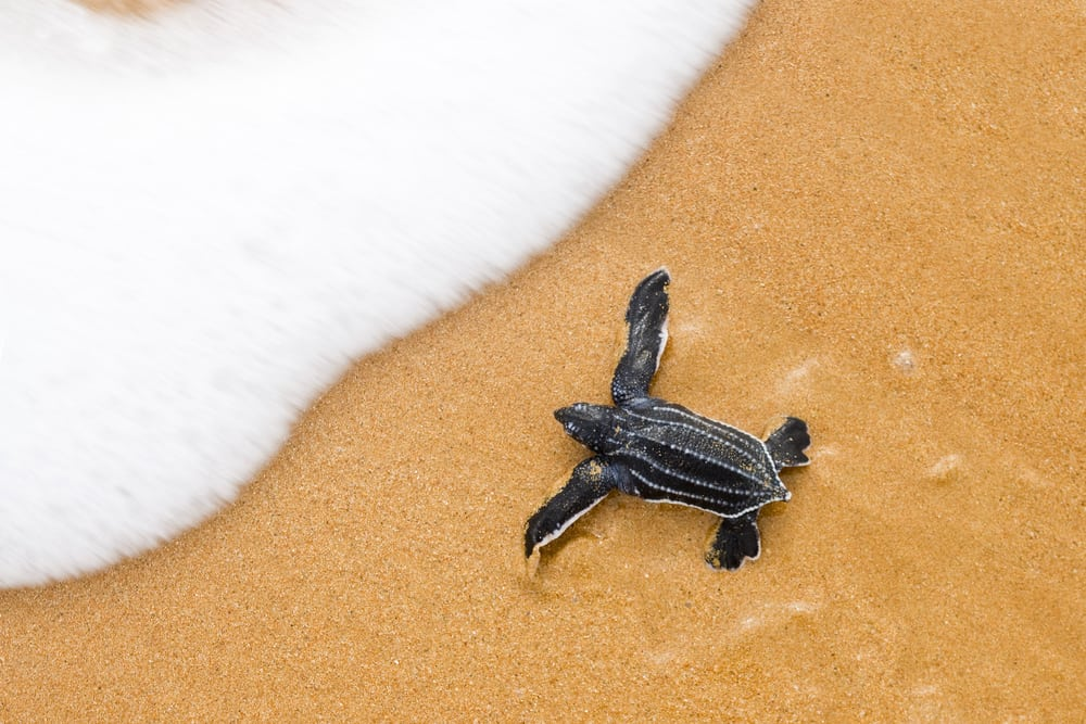 A baby leatherback, one of the species of sea turtles in Florida, making its way safely to the water.