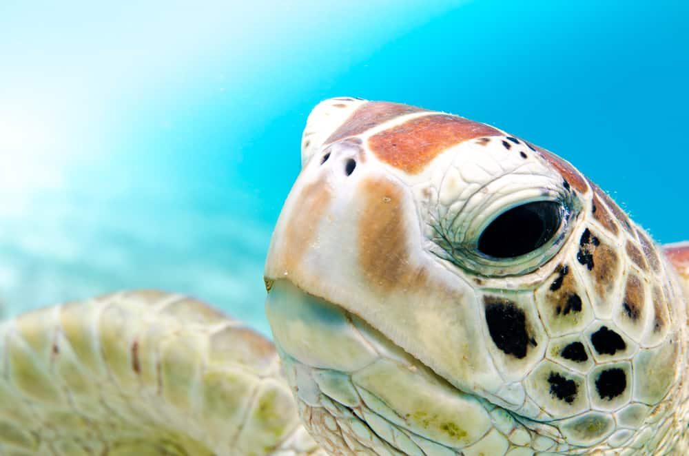 Close up photo of one of the sea turtles in Florida showing its face and right fin.
