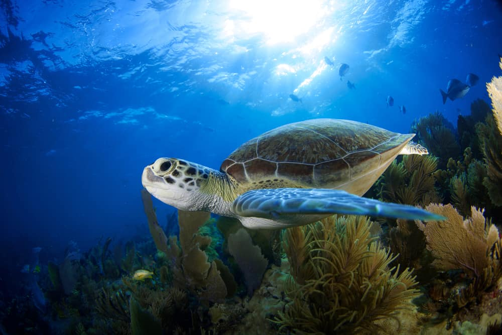 Underwater image of a green sea turtle, one of the sea turtles in the Florida Keys.