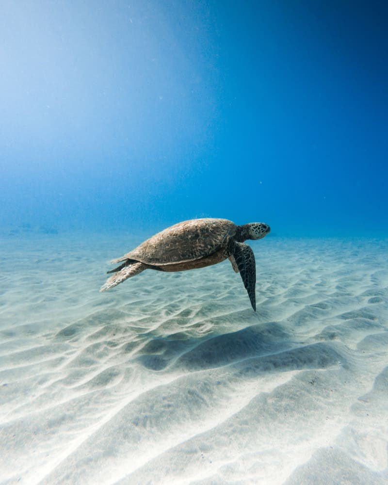 A turtle swimming in blue water. More specifically, a Kemp's ridley sea turtle which is one of the species of sea turtles in Florida.