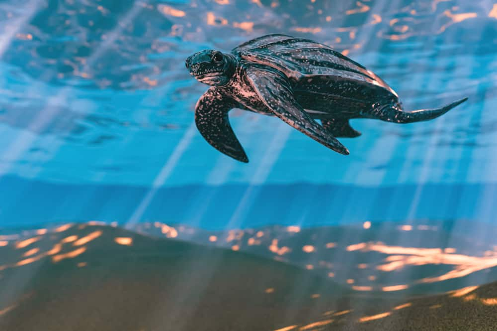 One of the sea turtles in Florida, the leatherback, swimming in shallow water under reflected sunbeams.